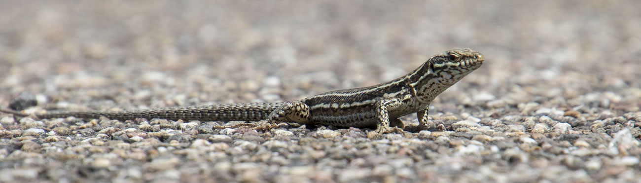 Wall Lizard spotters needed in Sussex